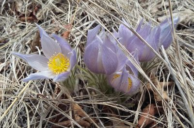Pasque_flower_A_derivative200dpi.jpg